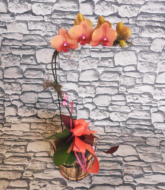 Orquídea Phalaenopsis 1H Hibrida 190724001 no cachepô