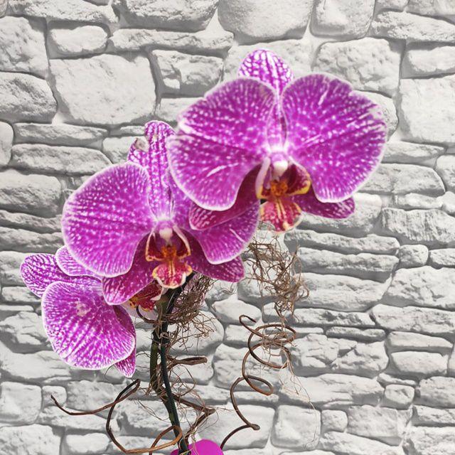 Orquídea Phalaenopsis 1H Hibrida no cachepô 20050810