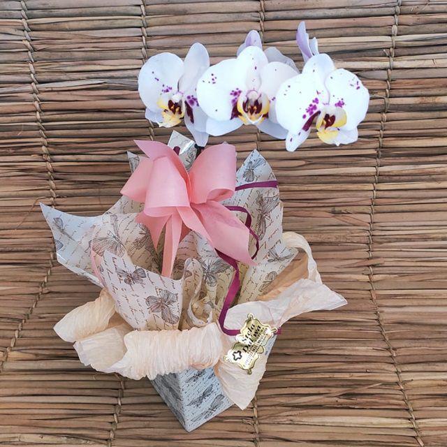 Orquídea Phalaenopsis 1H no cachepô  paper