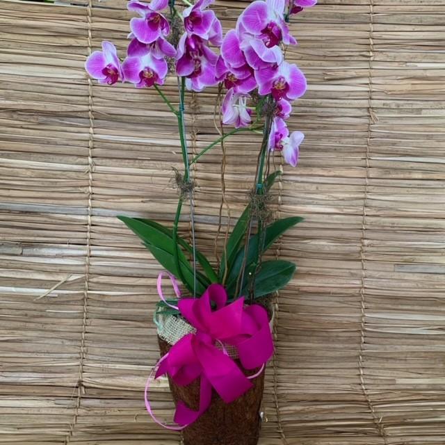 Orquídea Phalaenopsis 2 haste  200921 no cachepô