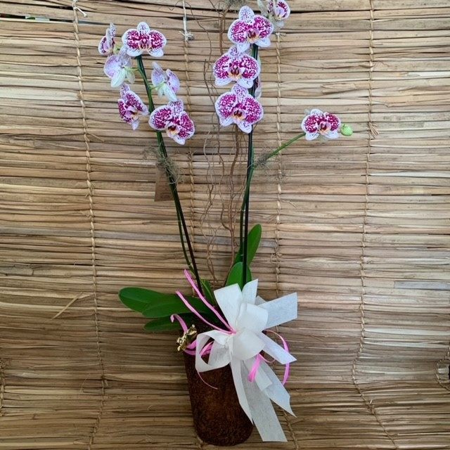 Orquídea Phalaenopsis 2 haste  20200921