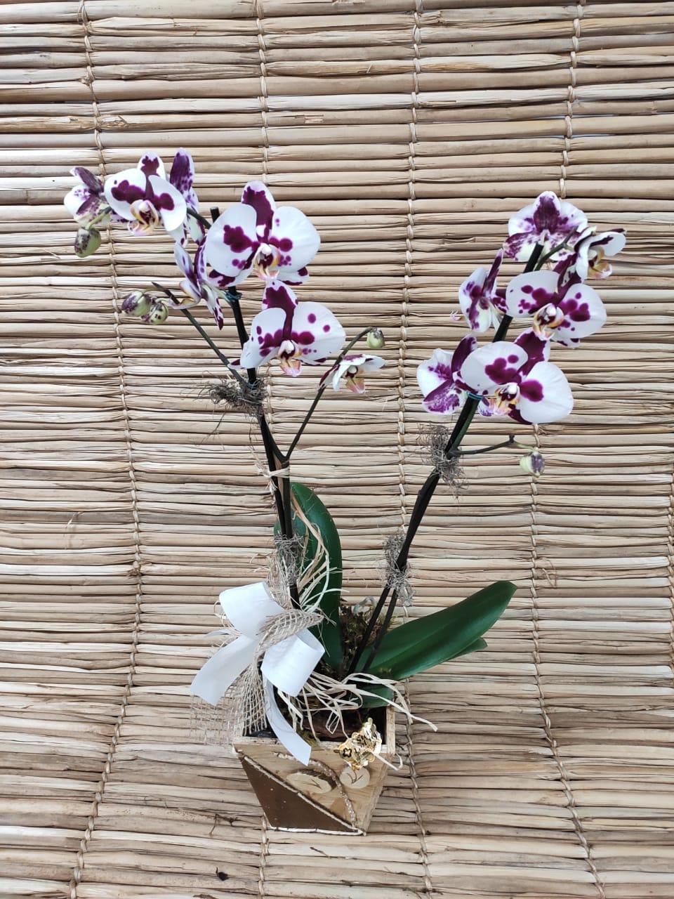 Orquídea Phalaenopsis 2 haste Híbrida 20050808 no cachepô