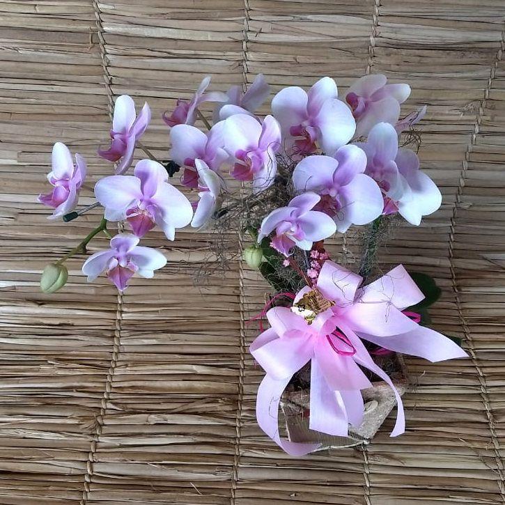 Orquídea Phalaenopsis 2H Hibrida no cachepô 190117 001