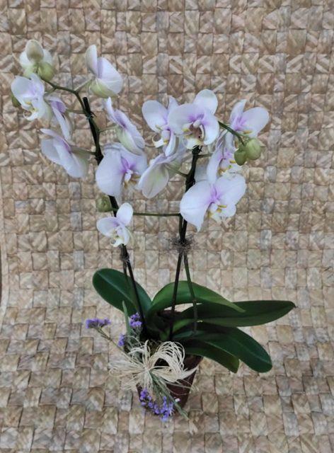 Orquídea Phalaenopsis 2H no cachepô 200506001