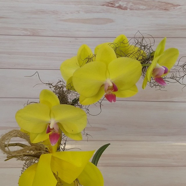 Orquídea Phalaenopsis Amarela 1H Híbrida