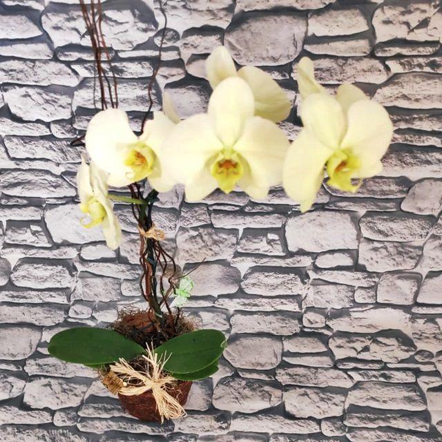 Orquídea Phalaenopsis Creme 1Haste no cachepô