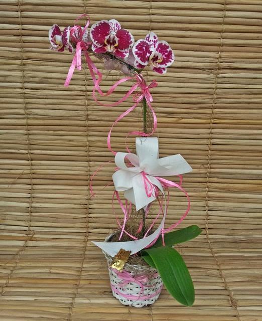 Orquídea Phalaenopsis mesclada cor de rosa e branca