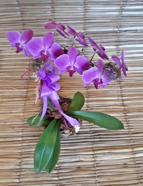 Orquídea Phalaenopsis pink 1H no cachepô