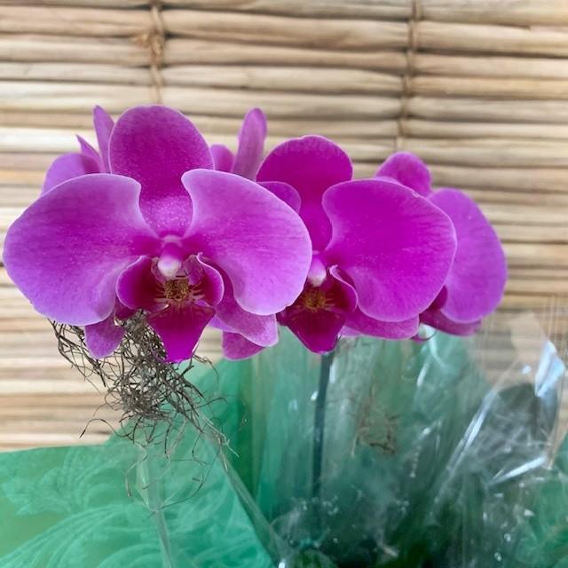 Orquídea Phalaenopsis roxa 1H  20050805 no cachepô