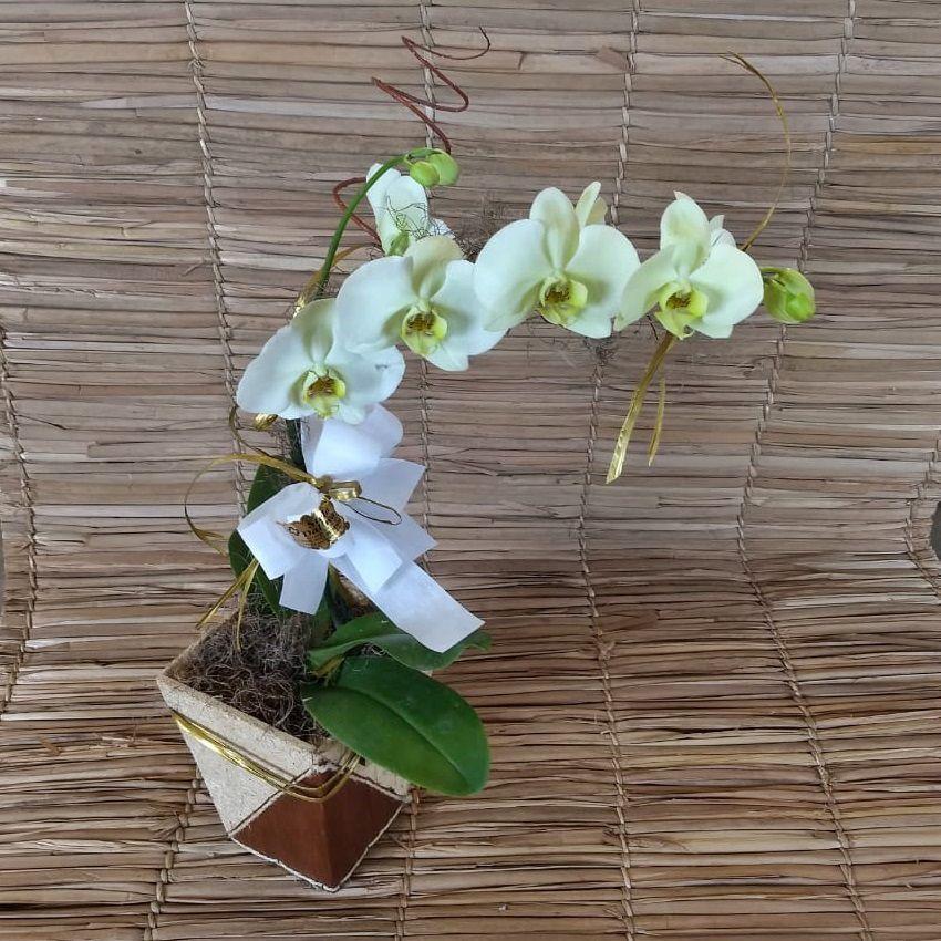 Orquídea Phalaenopsis Verde 1H Híbrida 0002 0949 190403 0001