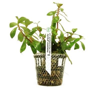 Amannia gracilis  - Aquário Estilos