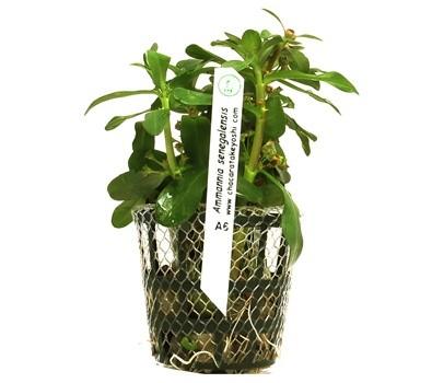 Amannia senegalensis  - Aquário Estilos