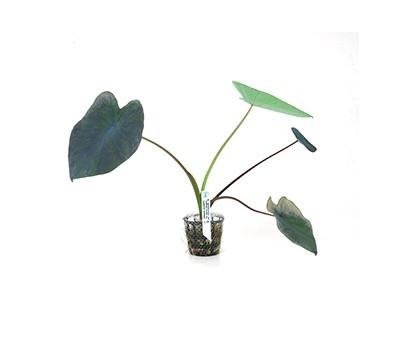 Colocasia esculenta  - Aquário Estilos