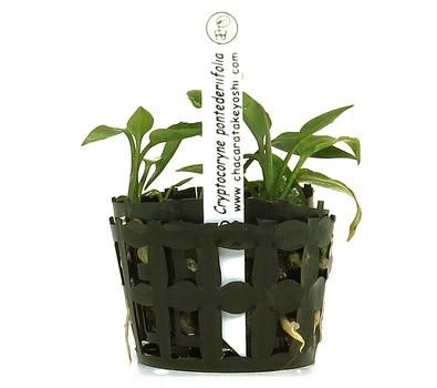 Cryptocoryne pontederiifolia  - Aquário Estilos