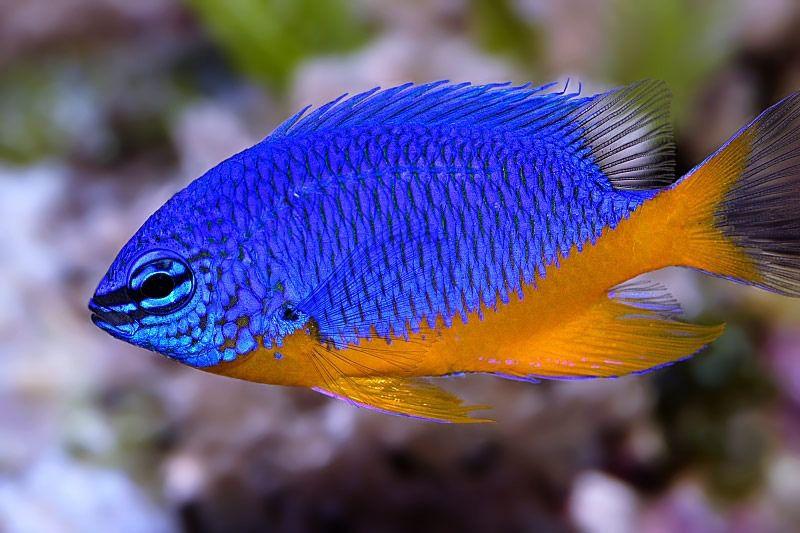 Donzela Kupang  - Aquário Estilos
