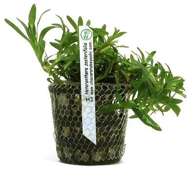 Heteranthera zosterifolia   - Aquário Estilos