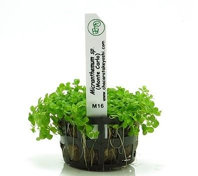 Micranthemum Sp. Monte Carlo  - Aquário Estilos