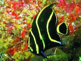 Peixe Anjo Paru jovem  - Aquário Estilos
