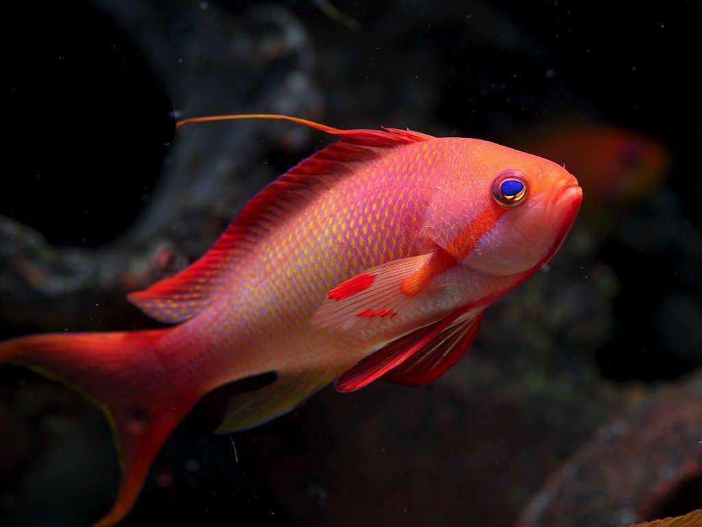Squamipins Macho Red Super Colours   - Aquário Estilos