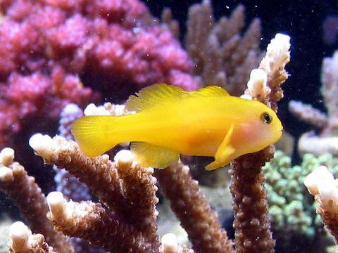 Yellow Coral Goby  - Aquário Estilos