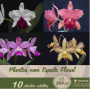 Kit de 10 Híbridos de Cattleya com espata floral