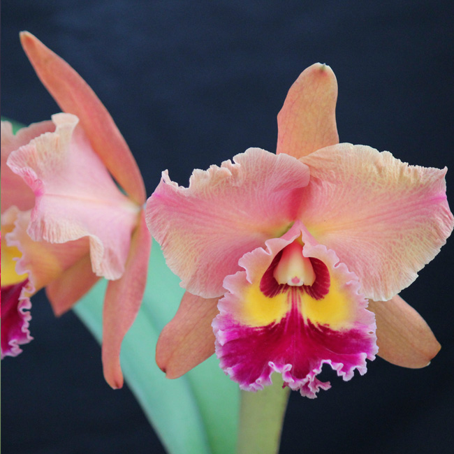 "Blc. edisto ""Newberry"" AM/AOS x Pot. red crab ""Kuan Miao"" AM/OSROC X Blc. chunyeah ""Good Life"" AM/AOS"