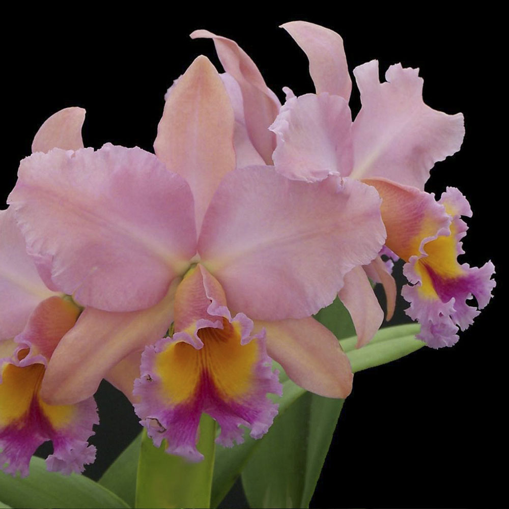 "Blc.George king ""Serendipity"""