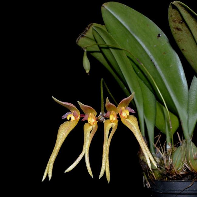 Bulbophyllum macraei