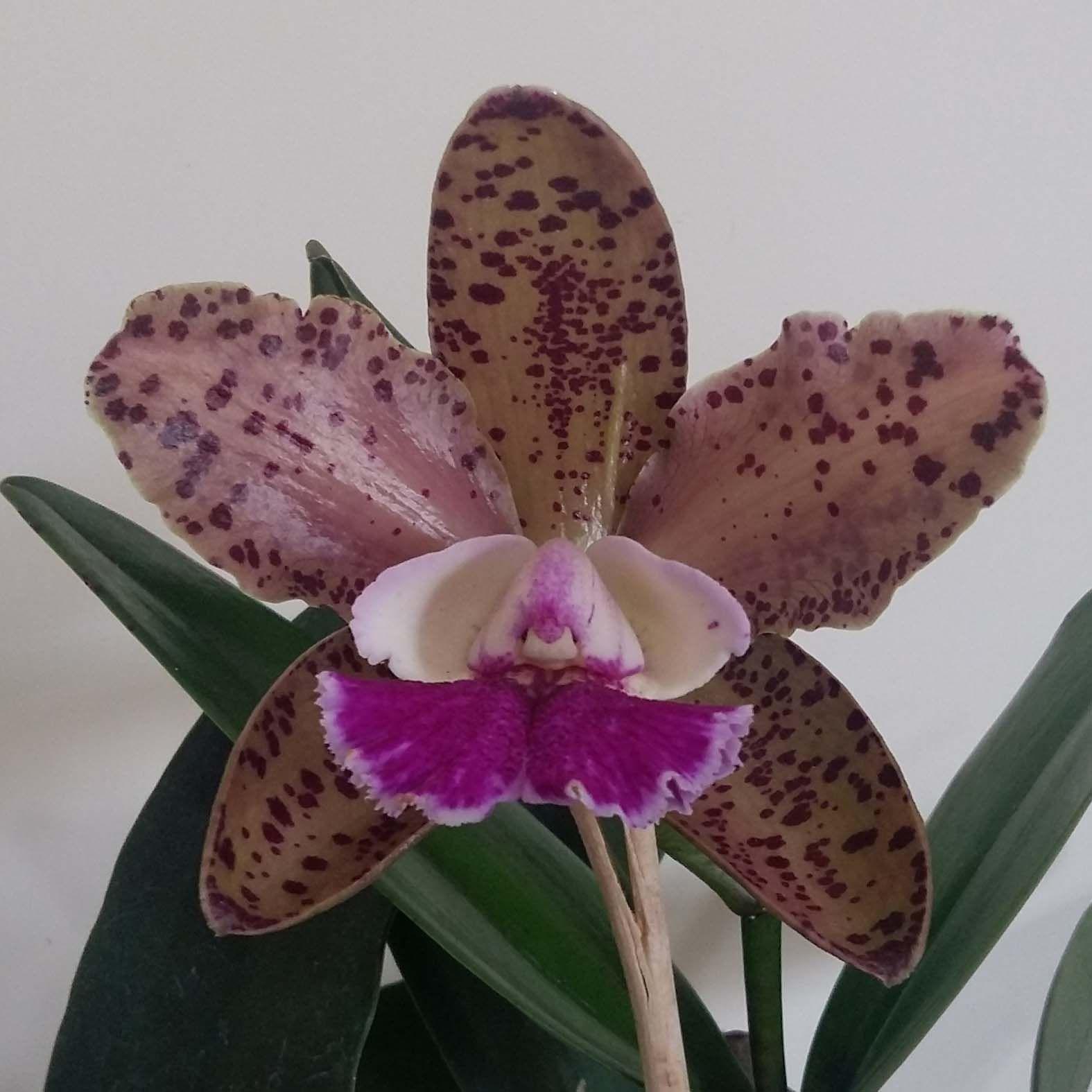 C. Brabantiae x C. kerchoveana x C. Nobile´s Wax Toy  X C. Schilleriana x C. Cruzeiro do Sul