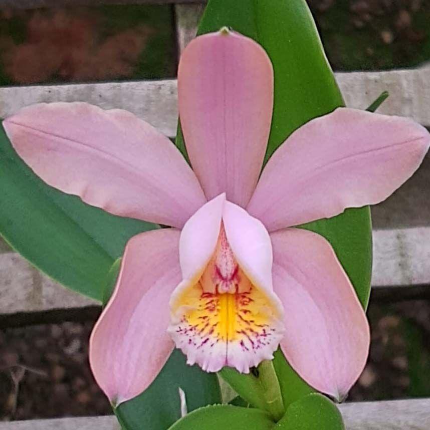 C. Harissoniana x C. Forbesii = Cattleya x Venosa
