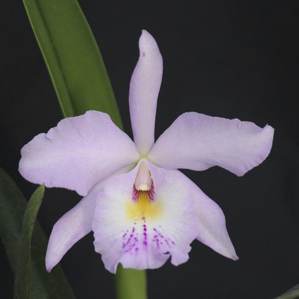 """C. labiata """"Coerulea"""" x L. pumila """"Coerulea"""" x B. nodosa """"Lady of The Night"""" X C. ruth gee """"Carmela"""" HCC/AOS"""