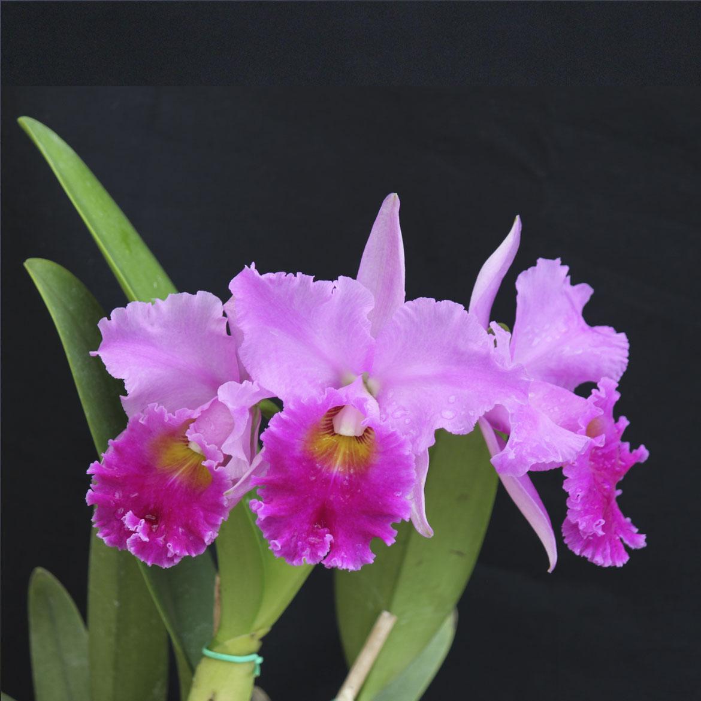 """C. virginia ruiz x Bc. pastoral X Lc. floralia's triumph """"Titanic"""" x Lc. yoshico suzuki"""
