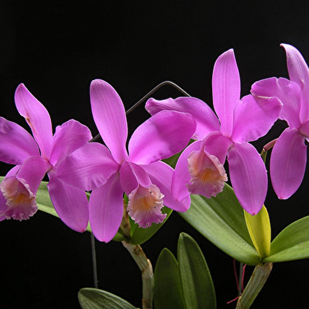 "Cattleya harrisoniana ""Tipo"""