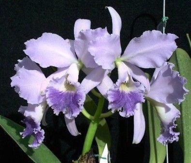 """Cattleya Labiata var Coerulea """"Ardósia"""""""
