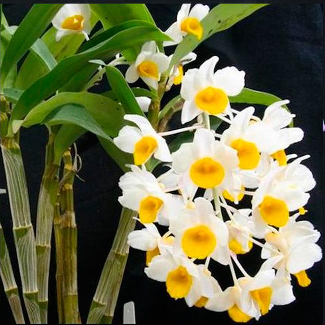 Dendrobium mousmee X Dendrobium densiflorum