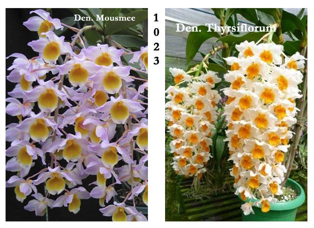 Dendrobium mousmee X Dendrobium thyrsiflorum