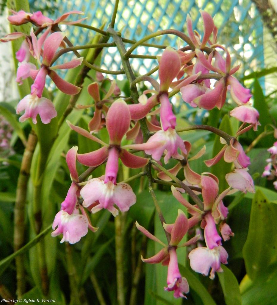 Epidendrum Revolutum