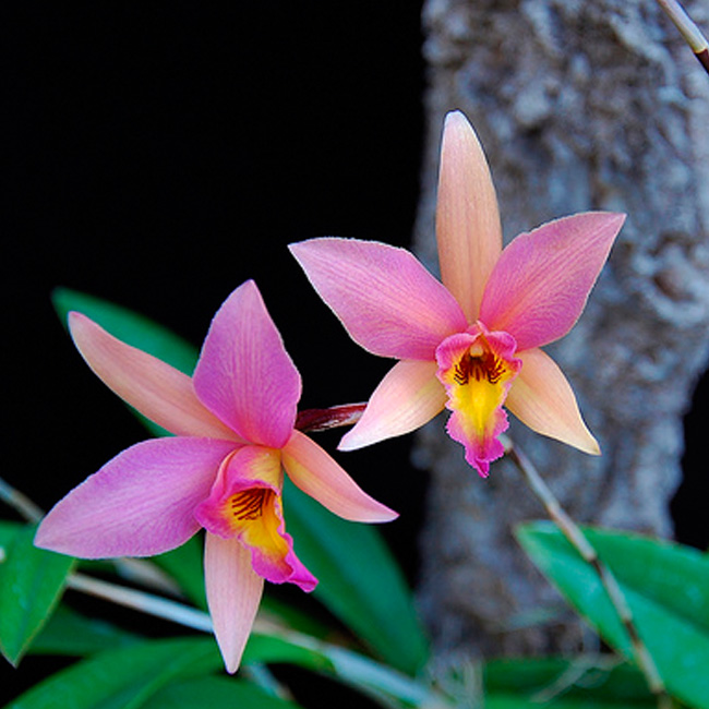 "Laelia santa barbara sunset ""Showtime"" HCC/AOS"