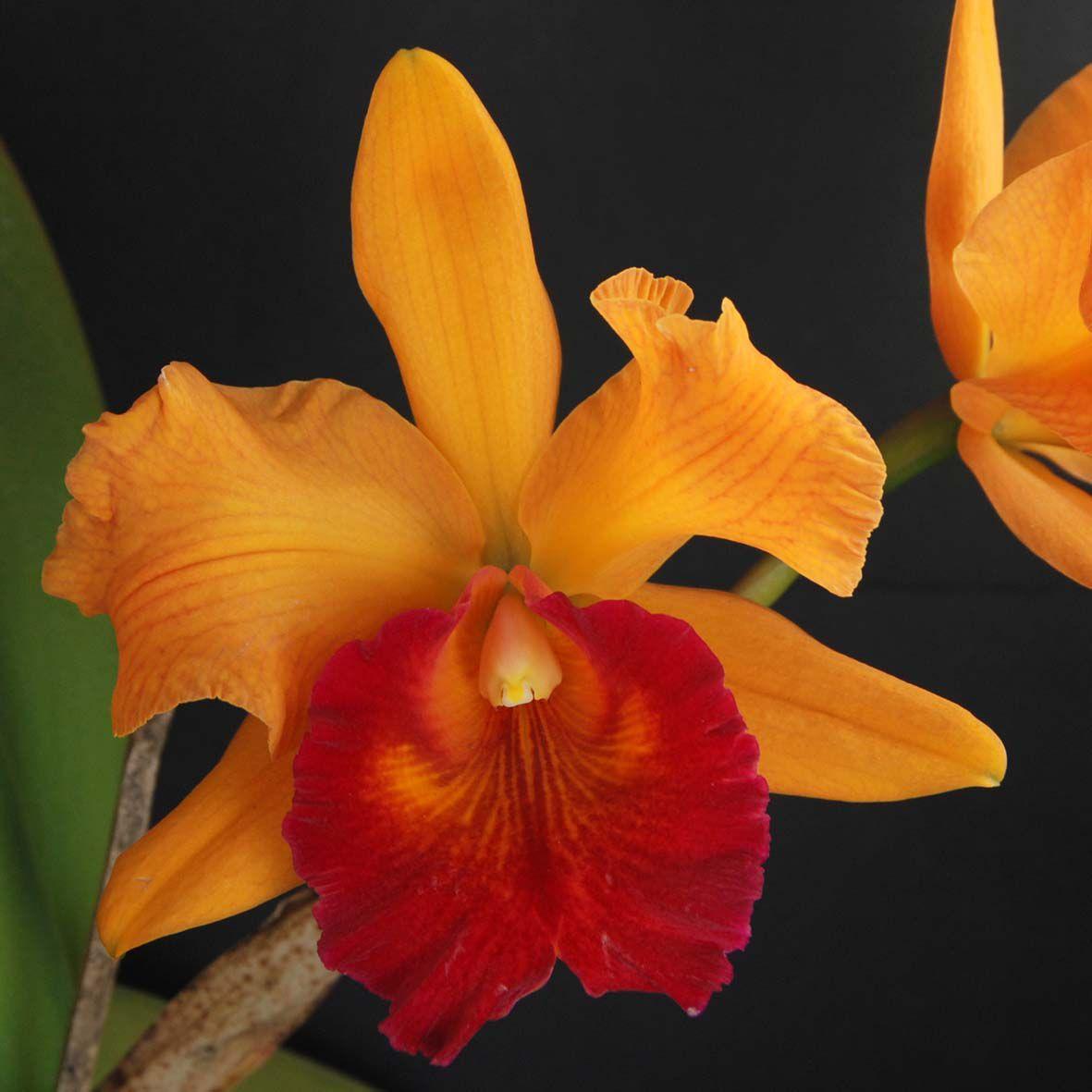 Lc. crepe suzette x Blc. goldenzelle