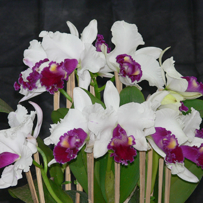 "Lc. mildred rives ""Orchidglade"" AM/AOS x Lc. ecstasy ""Orchidglade"" X Lc. mildred rives ""Orchidglade"" AM/AOS"