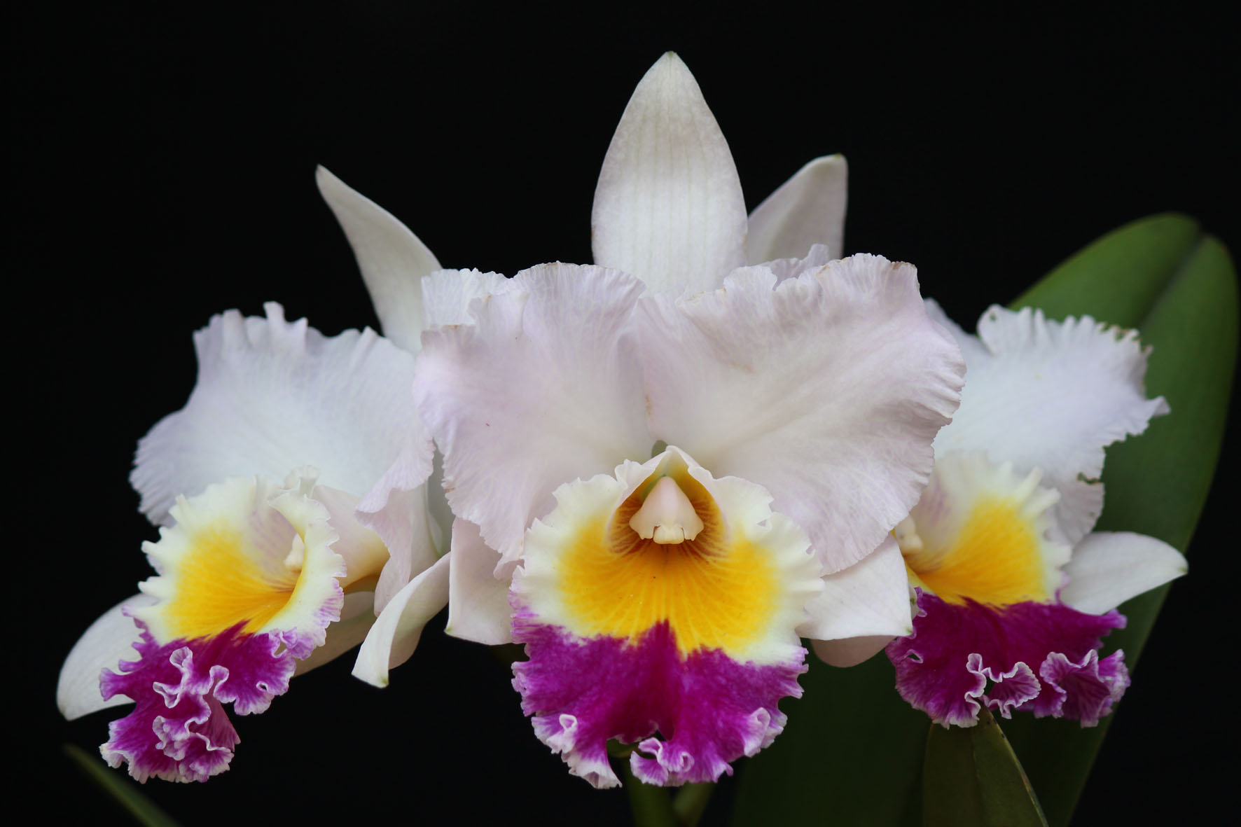 """Lc. Mildred Rives """"Orchidglade"""" FCC/AOS, AM/AOS X C. Nerto x Lc. Barbosa Rodrigues x Blc. Enid Moore """"Belle"""""""