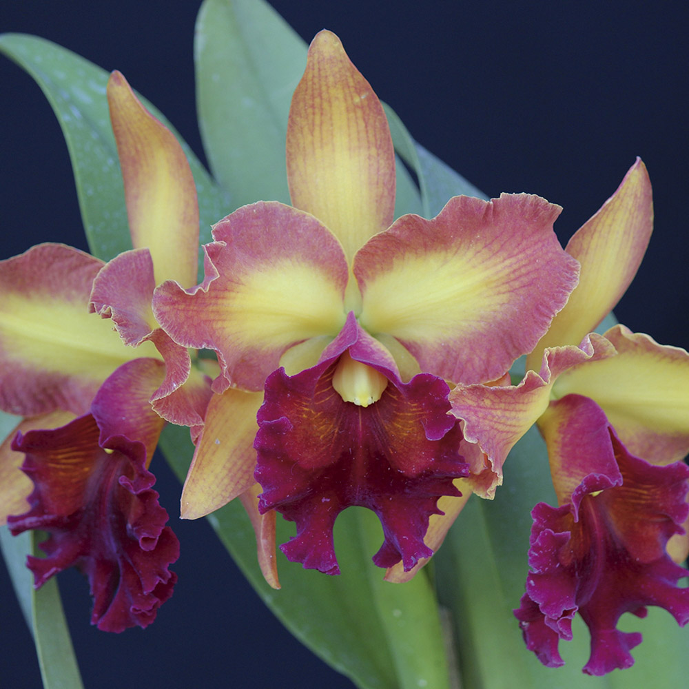"Lc. orglade's royal lady ""Roman Holiday"" AM/AOS X Blc. owen holmes ""Ponkan"" AM/AOS"