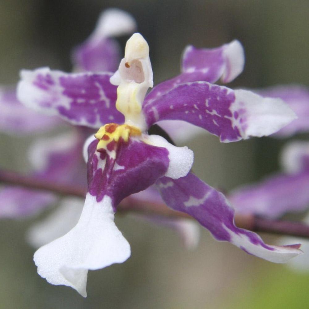 Oncidium incurvum