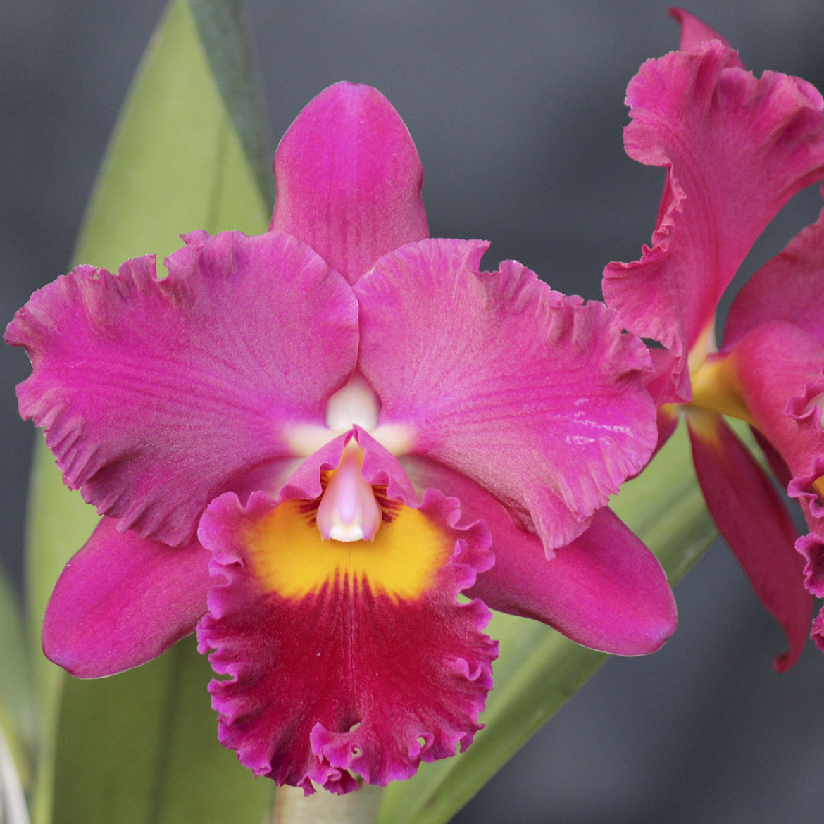 "Pot. sally taylor ""Red"" HCC/AOS X Blc. goldenzelle ""Nicole"""
