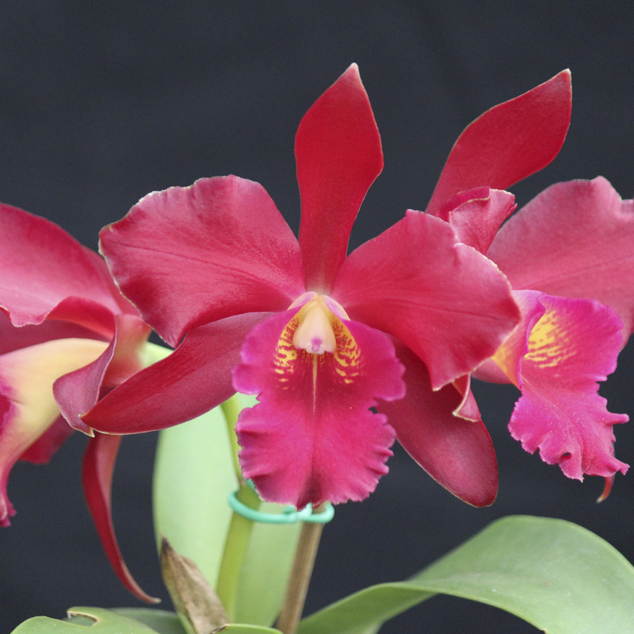 "Slc. vallezac X C. chocolate drop ""Kodama"" AM/AOS"