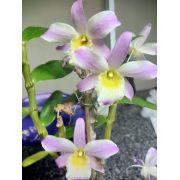 Workshop Orquídea Dendobrium Campinas