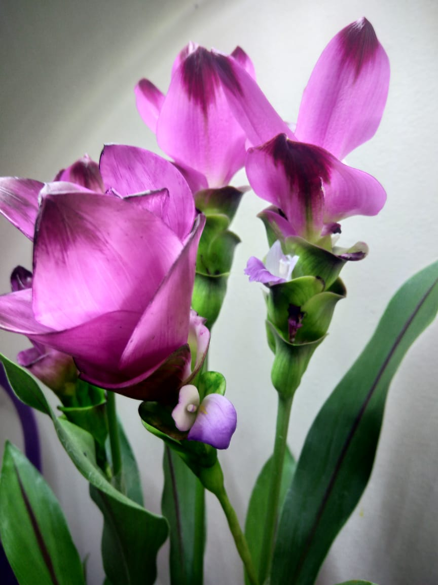 Cúrcuma ornamental