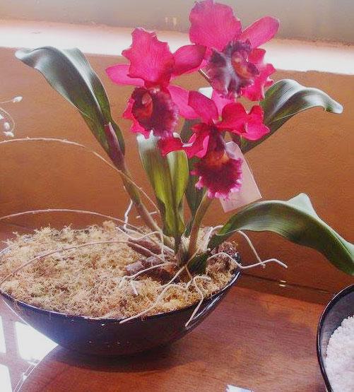 Brassolaeliocattleya