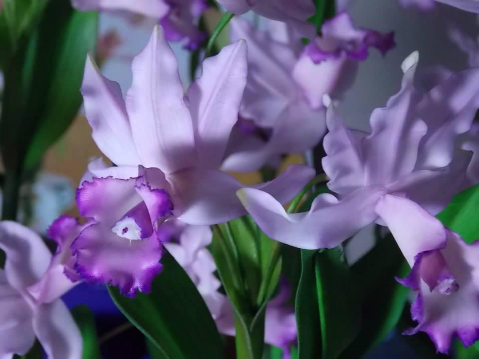 Cattleya violacea beija flor
