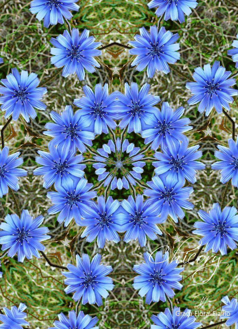 Poster Mandala Chicory